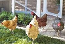 Here a Chick, There a Chick / Raising chickens in the 'burbs.