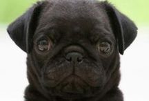 Pugs:) and things / by Amy Crowe-Galloway