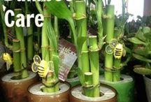 Lucky Bamboos