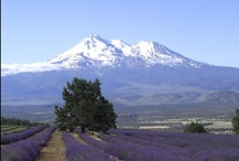 Mt. Shasta: Lavender Farm / Located twenty minutes north of Mt. Shasta City on a 3,500 ft. sunny slope. Two types of lavender are grown for oil, ornamentation, and culinary use. Seasonally, and by appointment visitors can cut lavender and enjoy magnificent views.