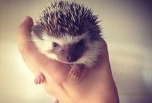 Prickly Friends / Cute hedgehogs and how to take care of them.