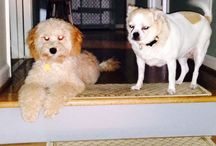 Australian Labradoodles and Chihuahuas and Shihpoos / Our Aussie labradoodle and our Chihuahua and now Shihpoo