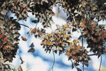 Monarch Butterfly Grove - Pismo Beach / This Classic California beach town is home to one of the largest monarch butterfly groves in the nation, hosting an average of 30,000 butterflies each year! Opening November 1st - February from 10am - 4pm.