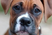 Boxer Dogs / by Cathy Clanahan