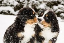 Bernese Mountain Dogs / by Stephen Robinson