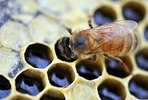 Bees / Hive, honey, swarm / by Kim Thompson