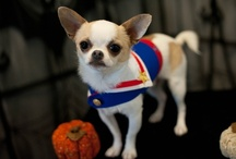 Manson's Mutts / Chihuahua's, toy dogs, animals, chi, dog / by Scheri Manson