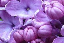 Hue: Purple