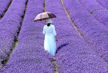 Shades of Lavender / Because purple is beautiful
