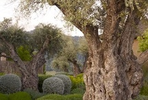www.oliveirasdeportugal.com / Our olive trees are extracted from, apart from our own plant nurseries, their natural habitat areas, that are normally in risk of being changed by human intervention.
