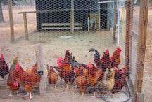 Chickens - Baack Baaack / by Keri Ewald