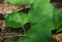 Love My Hostas! / We have several hundred hostas at Timberwolf Creek Bed and Breakfast, in Maggie Valley, North Carolina.  A good deal of those are in the wedding cove.  Since we're in old-growth forest, shade plants are the way to go!