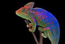 Chameleon Love / by Keri Ewald