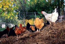 Outdoors: Chicken and Other Fowl