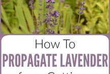 Plant Propagation / Learn how to get free plants to fill your home and gardens or share with friends. Whether you want to propagate indoor houseplants (like aloe vera, jade, spider, pathos, snake or rubber plants), or garden plants and herbs (like propagating rosemary, basil and lavender!), you will find tons of simple tips and step-by-step lessons here. Learn to take cuttings and use easy DIY propagation methods like rooting in water and seed starting, or grow plants from leaves, stems or by dividing the roots.