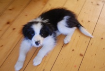 Clive / 9 week old border collie puppy