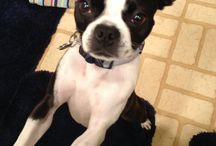 Boston Terrier and other puppy love
