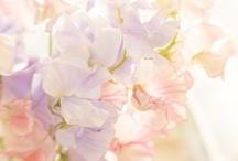 ✿⊱Sweet Pea Flower / Lathyrus / by Marja Schwedler