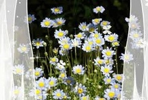 ✿⊱Daisy / I love daisies! They make me smile! / by Marja Schwedler