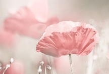 ✿⊱Poppy & Papaver / I love poppies so much! / by Marja Schwedler