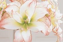 ✿⊱Amaryllis / Fabulous Flowers / by Marja Schwedler