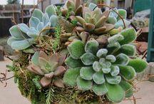 Garden: Succulent Plants / Drought tolerant plants. / by Judy P