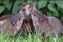 Groundhogs / by wunderground.com