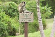Island Inhabitants / Humans are not the only creatures that call Nevis home / by Four Seasons Resort Nevis