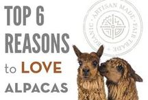 Top 6 Reasons to Love Alpaca / Vicugna pacos or Alpaca is a native species to South America. They are kept in herds that graze at high altitudes in the Andes of Ecuador, southern Peru, northern Bolivia and northern Chile, year round. They look similar to sheep, but are larger and have long erect necks. Alpacas only have fleece fibers, not woolen fibers, and are used for woven and knitted items.