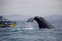 Whale Watching Kaikoura / Whale Watch® Kaikoura is New Zealand's ultimate all year round nature experience offering visitors exciting close encounters with Giant Sperm Whales.