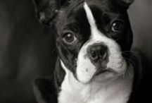 Boston Terriers / by Terry Progin