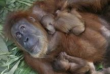 Orangutans are endangered / by Rainforest Action Network