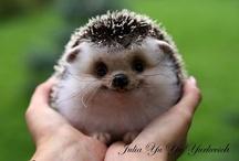 Hedgehogs / by Gennifer Barrs