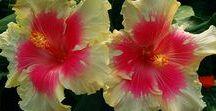 Hibiscus rosa/sinensis
