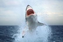Sharks are cool / Sharks - Mightiest, most mysterious and oldest creatures on earth