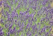 Lavender Ontario / Beautiful Lavender farms across Ontario.