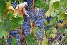 Cabernet Sauvignon / Whether you're just discovering Cabernet Sauvignon, or you're a devoted Cab-lover, there is still a ton to learn about the world's favorite grape.  / by Wine Library