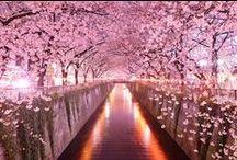 Sakura -cherry blossom-