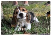 Beagles, Beagles and More Beautiful Beagles:) / My love for Beagles!! / by Kathy Robertson