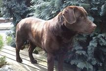 Chocolate Brown Labrador - Jenny / You can watch some photos my Labrador. Jenny is a perfect example of a Chocolate Lab with lovely texture and even coloured coat. Her mother was brown and her father brown also.