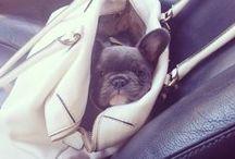mr bingley I OFFICE MASCOT / avalisa's newest addition to the office! Meet Mr Bingley. #bluefrenchbulldog