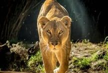 Leo...Queen of the Jungle / by Helen .