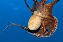 Octopus // Octopi // Octopuses / A collection of images and links celebrating the octopus, one of the most beautiful creatures under the sea. Octopus costumes, octopus drawings, octopus facts, octopus images... everything octopus!