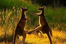 Kangaroos!? / by Sarah Potter