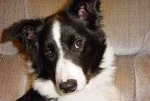 I love Border Collies / In loving memory of my 2 beautiful boys Sammy and Rudi x <3 x / by Annie Rooney