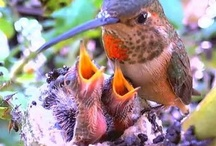Hummingbird Youngsters / Hummingbird mothers and chicks in the nest