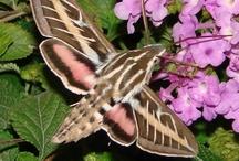 Hummingbird Moth / Hummingbird Moths