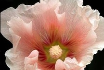 Flora - Peach / Peach Colored Flowers