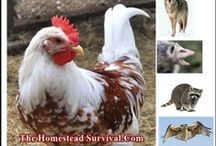 Chicken Predators / Ways to protect chickens from predators / by Evelyn Saenz