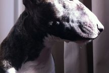 BULLTERREUR / Bull-terriers, Bull terriers miniatures